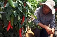 Nông dân liên kết xuất ớt sang Nhật
