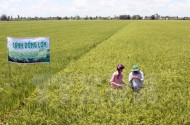 Diện tích cánh đồng lớn ở đồng bằng sông Cửu Long tăng hơn 37 lần