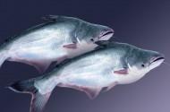 ASC đánh giá cao ngành cá tra Việt Nam
